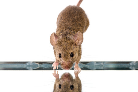 musculus: Tin house mouse (Mus musculus) jumping down onto mirror Stock Photo