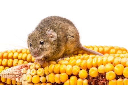 myszy: Zamknij widok maleńkiej myszy domowej (Mus musculus) na kolby kukurydzy