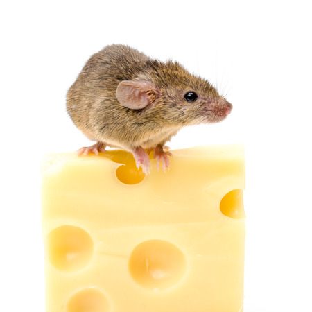 musculus: Tiny house mouse (Mus musculus) on big cheese