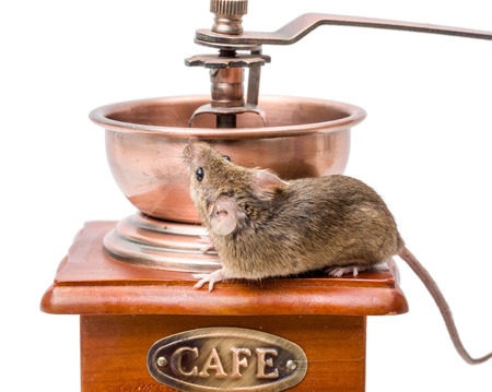 musculus: Tiny house mouse (Mus musculus) on wooden coffee grinder