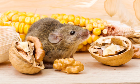 cute mouse: Tiny house mouse (Mus musculus) along walnut and corn seeds Stock Photo