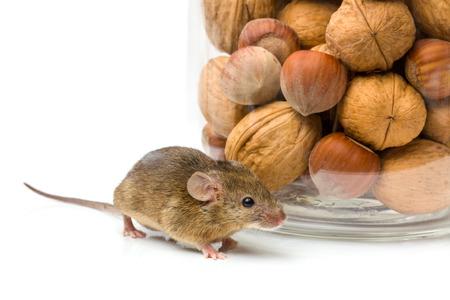 musculus: Tiny house mouse (Mus musculus) near walnut and hazelnut seeds jar