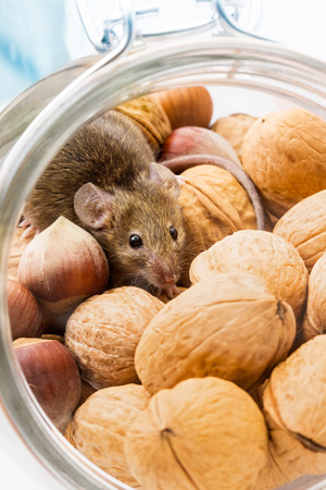 musculus: Tiny house mouse (Mus musculus) hiding in walnut and hazelnut jar Stock Photo