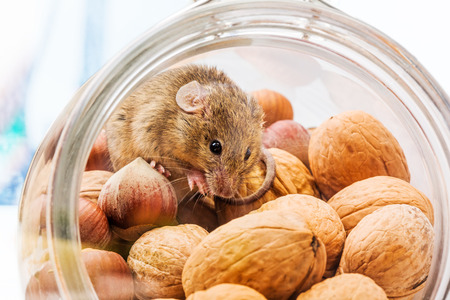 Tiny house mouse (Mus musculus) in walnut and hazelnut jar