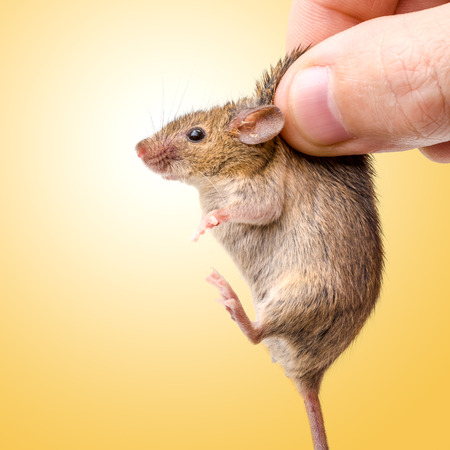 cute mouse: Tiny house mouse on yellow (Mus musculus) being held by human fingers