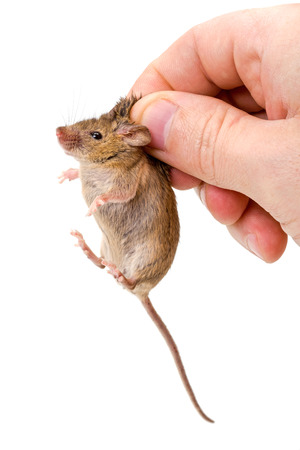 musculus: Tiny house mouse (Mus musculus) being held by human fingers Stock Photo