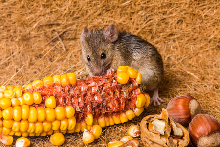 musculus: Close view of a tiny house mouse (Mus musculus) eating corn seeds