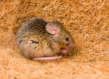 musculus: Close view of a tiny house mouse (Mus musculus) cleaning himself in shelter Stock Photo