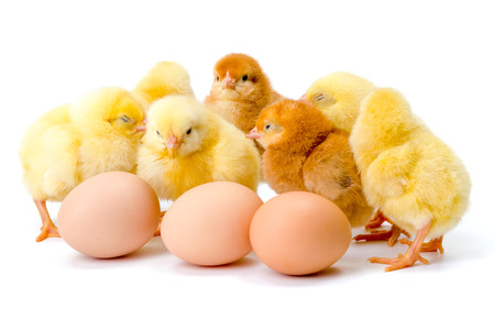 Group of newborn yellow chickens with eggs on white
