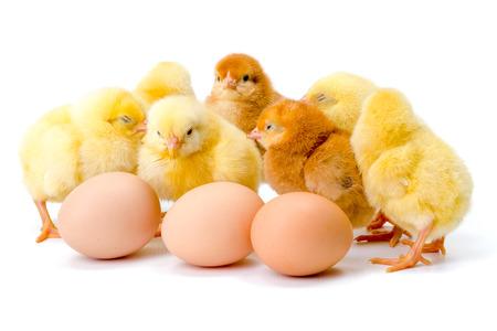 huevo: Grupo de los pollos amarillos recién nacidos con los huevos en blanco Foto de archivo