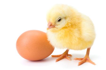 Little newborn yellow chicken standing near egg