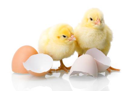 Yellow newborn chickens with broken egg shells on white Foto de archivo