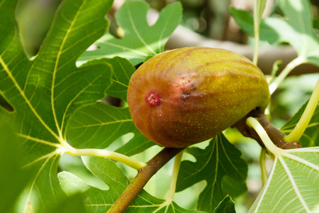 fig tree: Almost ripe fig on branch, summertime