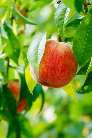 tree fruit: Ripe peach fruit on tree in summer