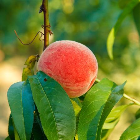 albero da frutto: Frutta matura pesca su albero in estate