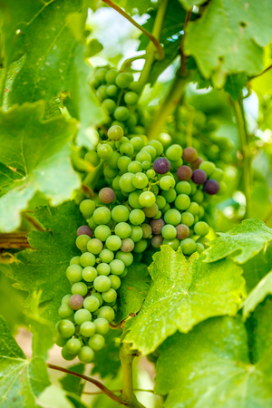 grape cluster: Ripening Blauer Portugeiser grape cluster with several blue Stock Photo