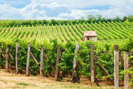 Oude wijngaard van Blaufrankisch blauwe Frankische druif in Hongarije