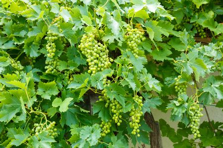 clusters: Green Muscat Ottonel grape clusters in vineyard Stock Photo