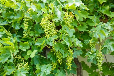 muscat: Green Muscat Ottonel grape clusters in vineyard Stock Photo