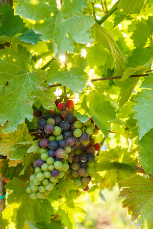 clusters: Green Blauer Portugeiser grape clusters in vineyard