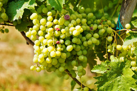 ripening: Ripening green table grape clusters in vineyard Stock Photo