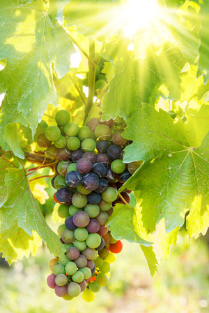 grape cluster: Ripening green Blauer Portugeiser grape cluster withs several blue berries. The sun shining through the leaves