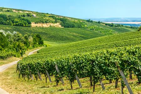 viñedo: Merlot uvas verdes en un viñedo en Villany, Hungría