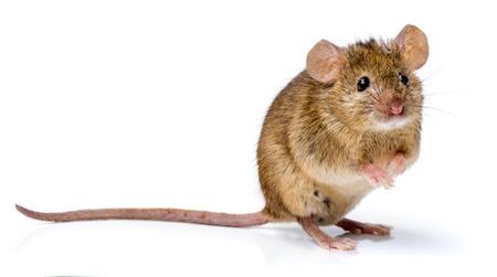 家のマウス (ハツカネズミ) の後部足の上に立って