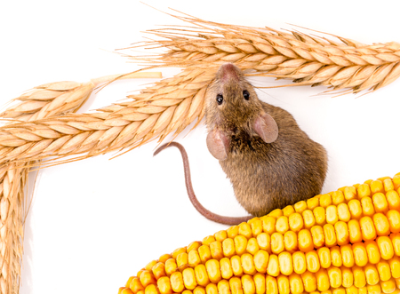 house mouse: Top view of house mouse (Mus musculus) along wheat and corn seeds