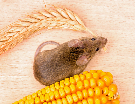 house mouse: Top view of house mouse (Mus musculus) carrying wheat ear on wooden background Stock Photo