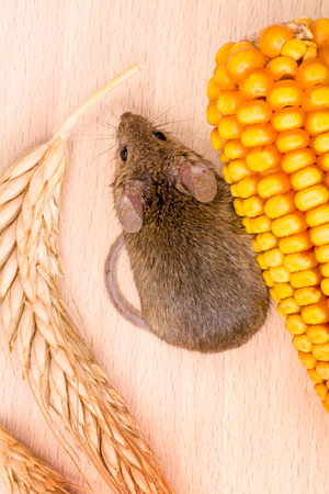 house mouse: Top view of house mouse (Mus musculus) along wheat and corn seeds on wooden background Stock Photo