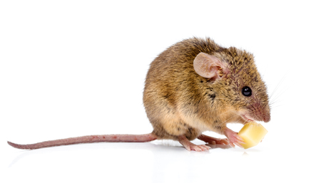 house mouse: Tiny house mouse (Mus musculus) with long tail, eating cheese