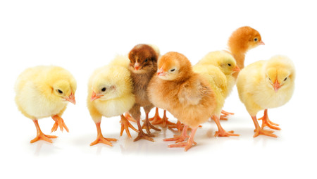 fledgling: Lots of newborn chickens standing together on white Stock Photo