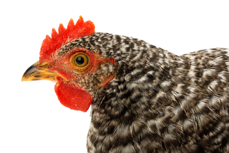 pullet: Macro of speckled pullet head. Isolated on white