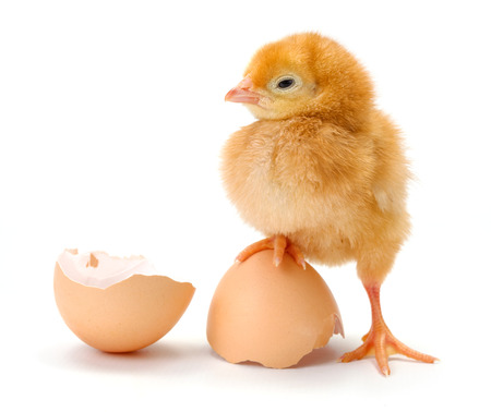 Newborn brown chicken standing on broken egg shells
