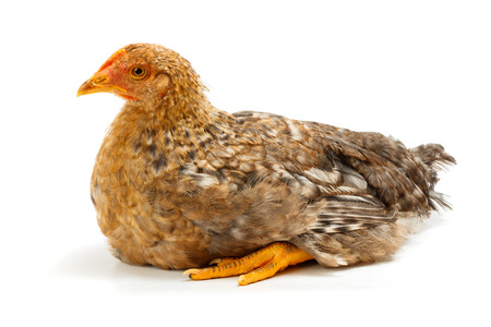 pullet: Mid-sized pullet sitting on white background