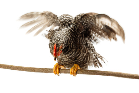 land animals: Speckled chicken raising wings while sitting on branch