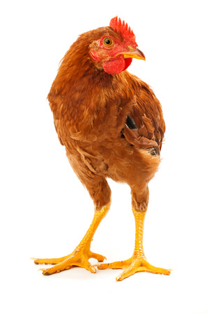 pullet: Mid-sized brown pullet standing on white background