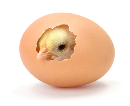 Newborn yellow chicken hatching from egg