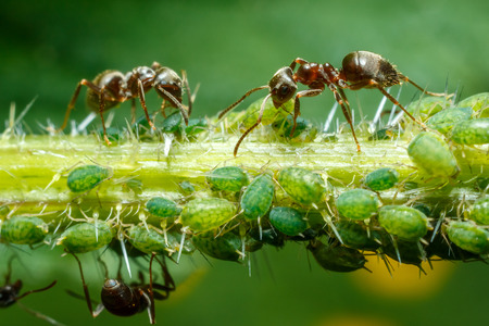 ants: Ants taking care of aphids on nettle stem Stock Photo