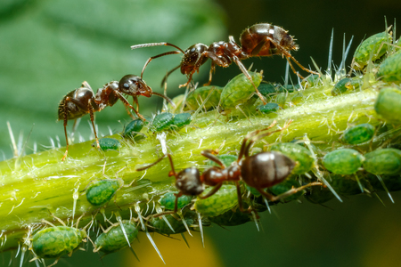 Ants taking care of aphids on nettle stem Stock Photo