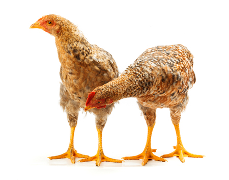 pullet: Pair of speckled pullets standing on white background