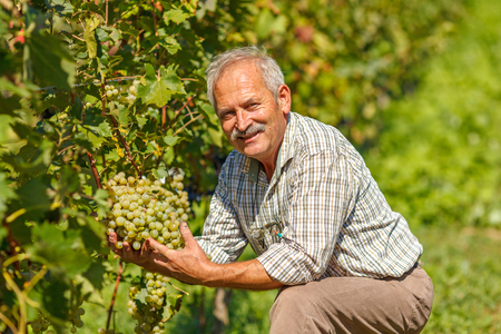 Proud viticulturist showing big grape cluster in vineyard Stock Photo