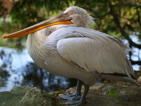 White pelican near water in the shade of trees photo