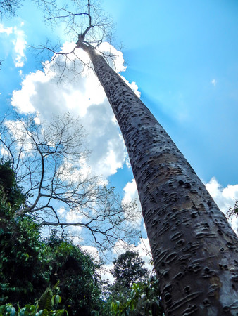 very: Very big an tall tree with blue sky