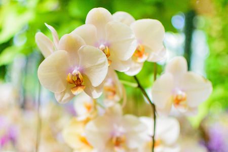 panicle: White Cream Orchid Panicle Selective Focus Stock Photo