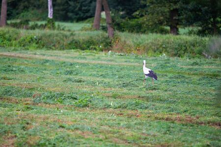 Stork  is collecting food in a field Standard-Bild - 129190225
