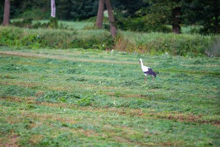 Stork  is collecting food in a field Standard-Bild - 129190230