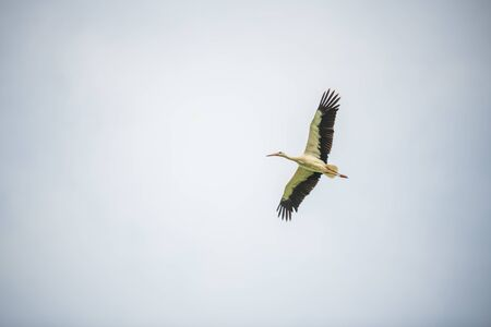 a  stork flies past the sky without blue sky