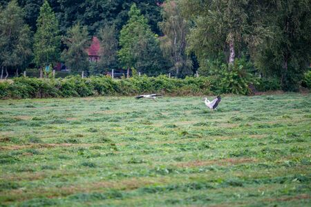 Stork  is collecting food in a field Stock Photo